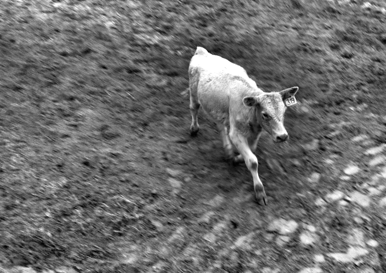 """""""319 is the cow"""". Image by Luke Cummins. 2012 Winner - Secondary Category. Theme 5 - Malting Barley to Mallee Bulls"""