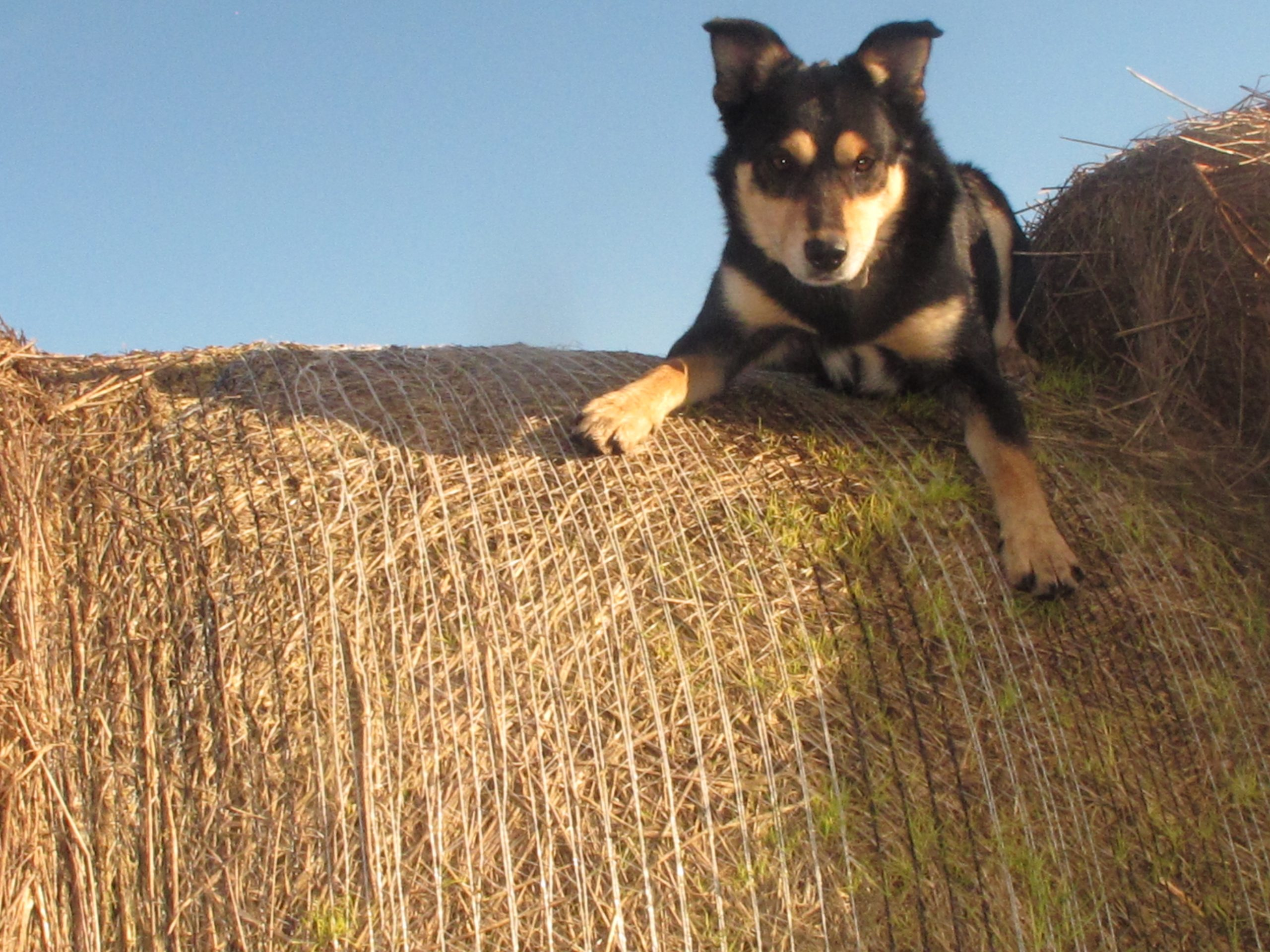 """Pop's cattle dog Nugget."" Image by Clancy Timperon. 2012 Second Runner-up - 'Images of Farm Life' - Primary Category"